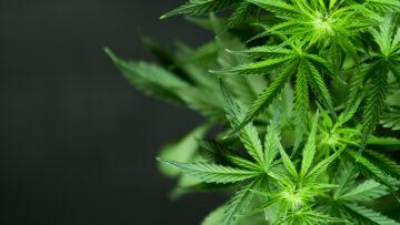 Cannabis: Zwischen Medizin und Modetrend