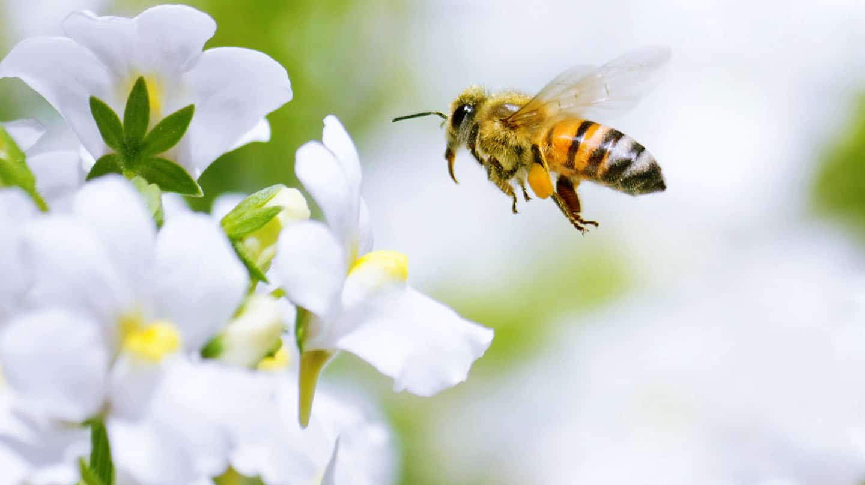 Propolis und Honig: Gesundes von der Biene